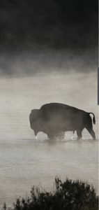 galaxy-s10-cutout-bison-in-morning-mist-wallpaper